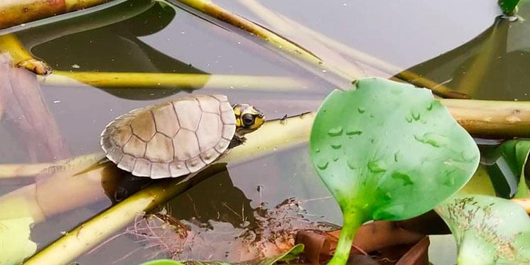 Mais de mil filhotes de tartarugas e tracajás são integrados à natureza pelo projeto Quelônios